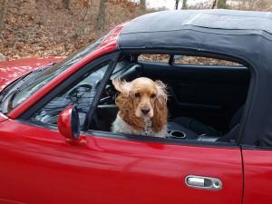 Английский кокер-спаниель в автомобиле