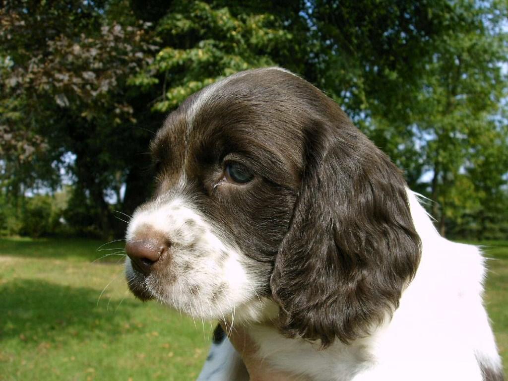 Как правильно воспитать щенка кокер-спаниеля?