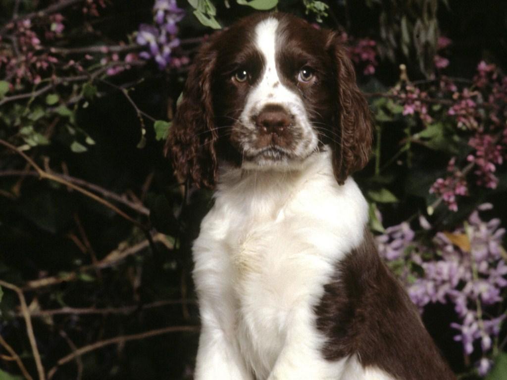 Как выбрать щенка английского кокер-спаниеля