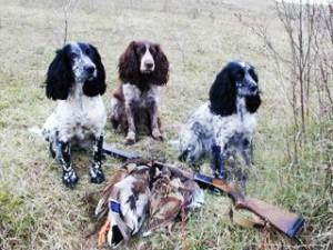 Особенности охоты на тетерева с русским охотничьим спаниелем