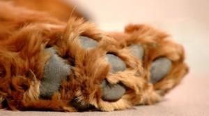Особенности ухода за спаниелями больными артритом