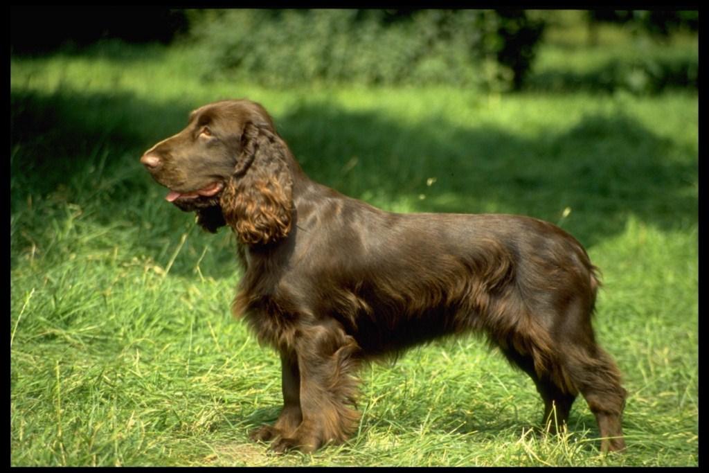 Выбираем кличку для щенка английского кокер-спаниеля